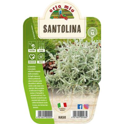 Santolina in vaso 14 HA50