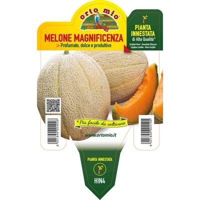 Melone Innestato Retato Magnificenza in vaso 14
