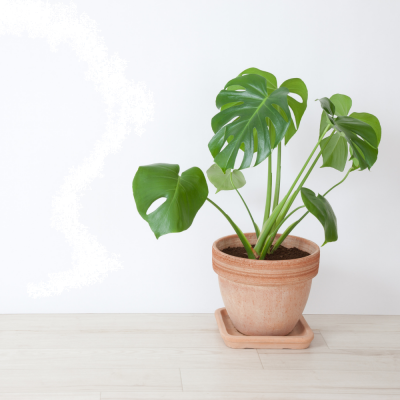 Filodendro (Philodendron) Ø17cm | Altezza 40-50 cm