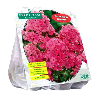 Bulbi Phlox Rosa x5
