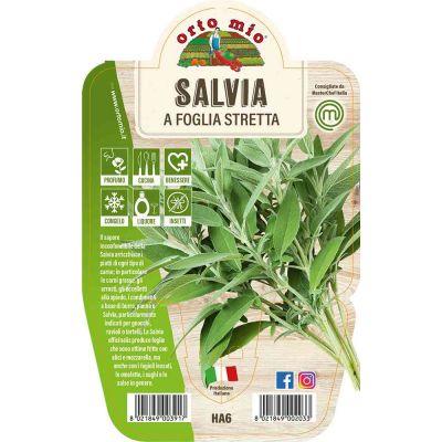 Salvia A Foglia Stretta in vaso 14 HA6