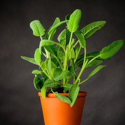Salvia officinalis foglia larga in vaso Ø14 cm