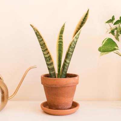 Sanseveria trifasciata vaso Ø14 cm | Altezza 35-40 cm