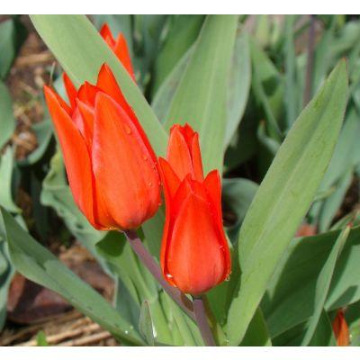 Tulipani Tubergen varietà 30 bulbi