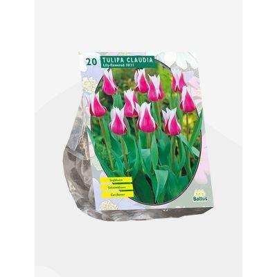 Bulbi Tulipani Claudia x20