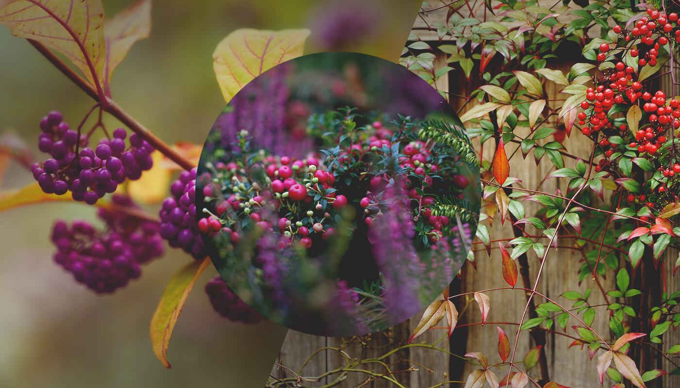 Pianta Ornamentale Con Bacche Rosse bacche d'autunno | agricolashop