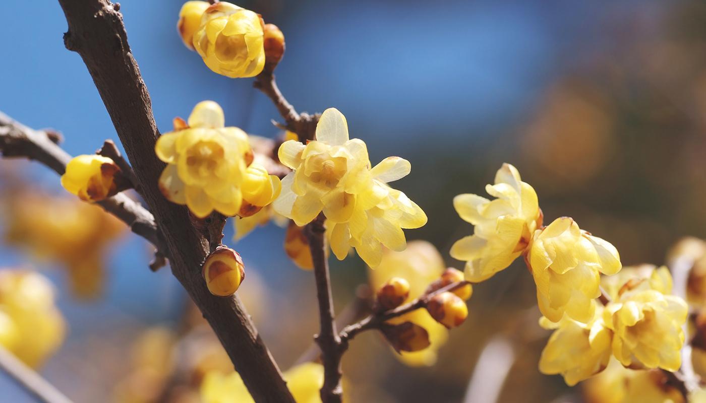 Calicanto Fiore D Inverno calicanto invernale | agricolashop