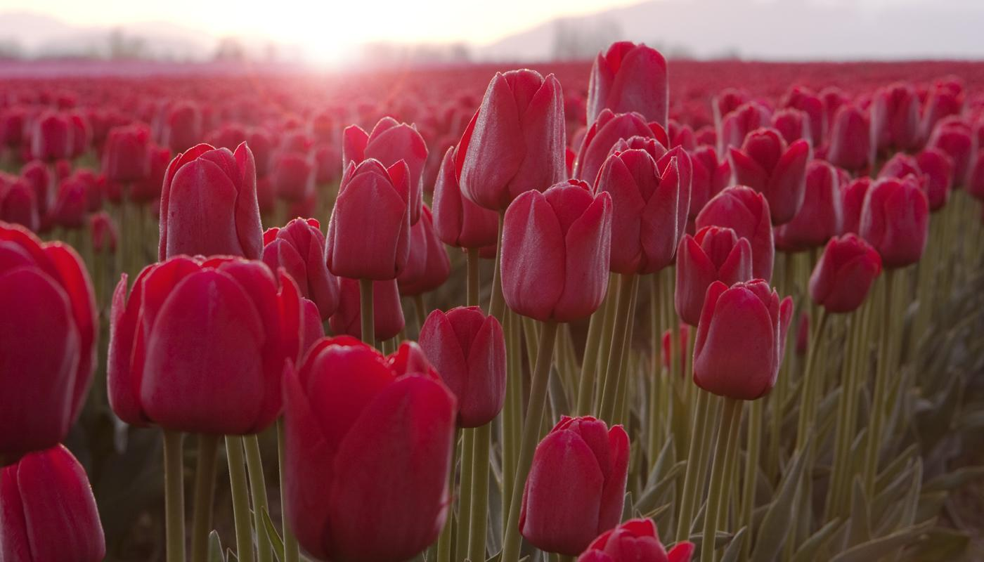 Come Si Piantano I Tulipani tulipano | agricolashop