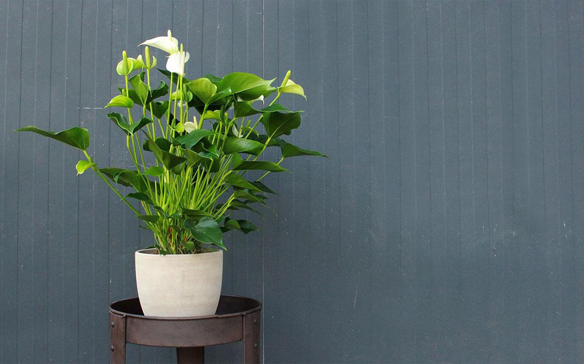 Anthurium Cura Della Pianta le piante fiorite da interno | agricolashop