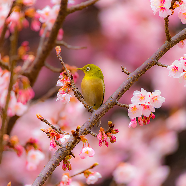prunus fioriture primaverili